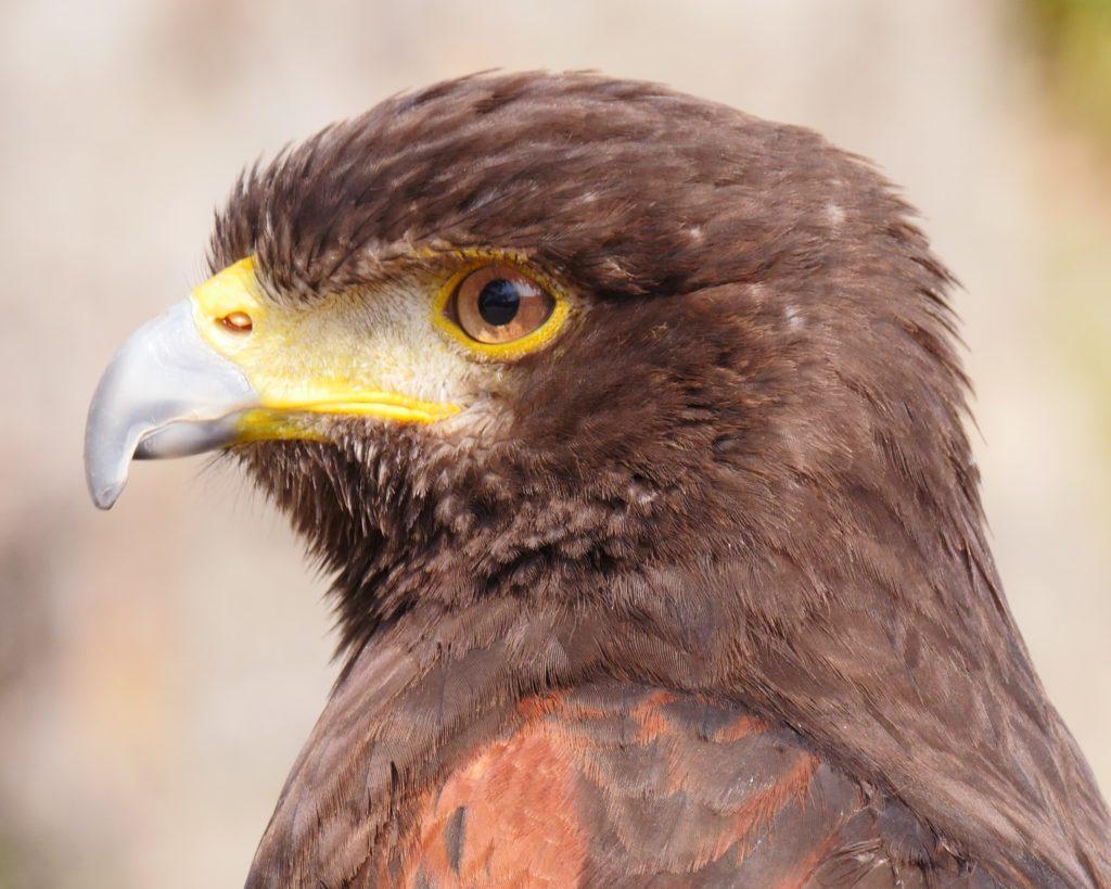 鷹の画像ですがワシです。
